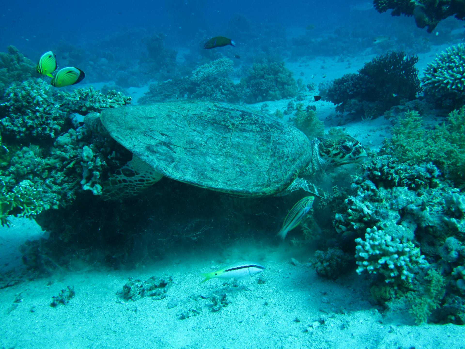 Una tartaruga nelle acque delle Isole Galapagos / Gtres