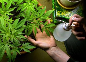 Coltivare cannabis in casa è legale, ma solo in alcuni casi